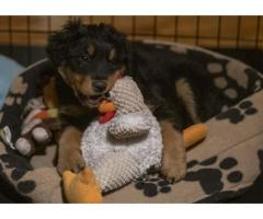 Old-fashioned Black and Tan English Shepherd Puppies for Sale - Tennessee