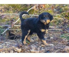 Old-fashioned Black and Tan English Shepherd Puppies - Alabama