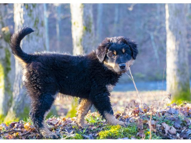 Old-fashioned Black and Tan English Shepherd Puppies for Sale - Kentucky