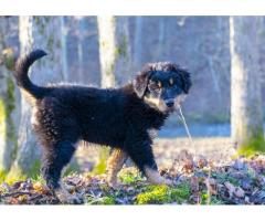 Old-fashioned Black and Tan English Shepherd Puppies for Sale