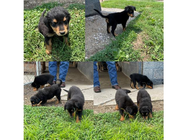 Old-fashioned Black and Tan English Shepherd Puppies